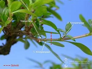 Ficus Bonsai Schneiden : schneiden bei gegenst ndiger blattanordnung ~ Indierocktalk.com Haus und Dekorationen