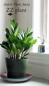 Indoor, Plant, Ideas, The, Zz, Plant, U2013, Dan330