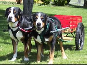 Greater Swiss Mountain Dog Pulling Record