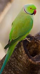 Indian Green Parrot Bird