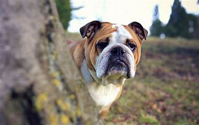 Bulldog Bulldogs Wallpapers Dog English Bull Computer