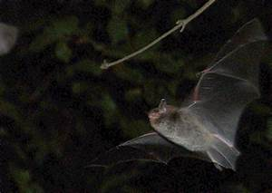 Bats Obey Their Own  U0026quot Traffic U0026quot  Laws When Hunting For Food