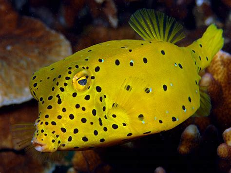 yellow boxfish copyright ken knezick island dreams