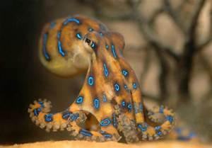 Blue Ring Octopus | Cephalopod Love | Pinterest | Blue ...