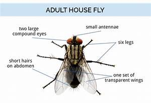 Fly Identification - Types Of Flies