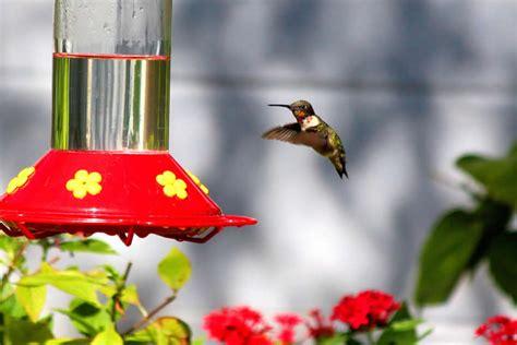 hummingbirds no red dye