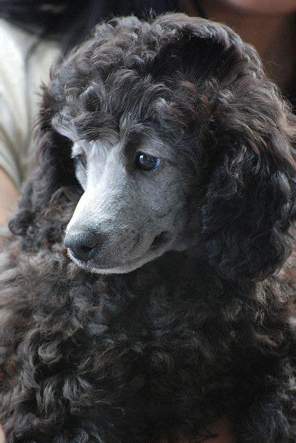 poodles standard poodles  poodle puppies  pinterest