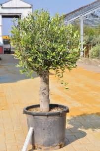olivenbaum balkon ergebnisse zu olivenbaum balkonbau24 de