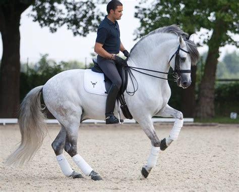 andalusian dressage horse horses doma stallion pretty riding lusitano equine antonio gorgeous mena breeds clasica visit pre raza pura pirouette