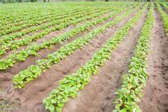 Culture De La Patate Douce : culture photos stock inscription gratuite ~ Carolinahurricanesstore.com Idées de Décoration