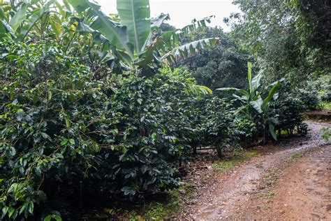 In addition, this flavorful cup has stone fruit candied flavors of. La Chumeca Capulinero Anaerobic Natural - Ally Coffee