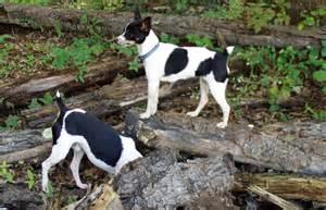 Rat Terrier Mix Dogs