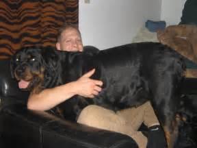 Rottweiler Biggest Dog Ever