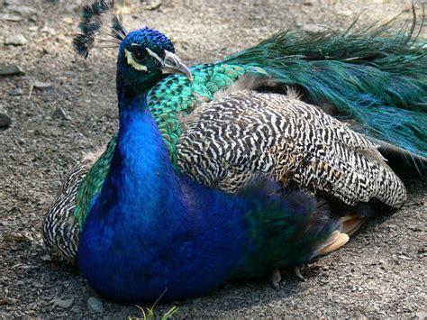 desktop nature wallpaper indian blue peacock