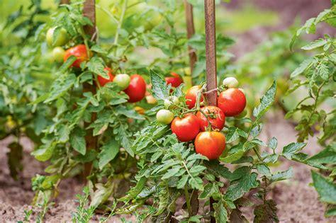 Izturīgākās lauka tomātu šķirnes iesaka dārzkopības kluba ...