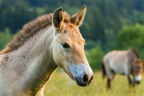 horses przewalski wild horse last animals truly earth these domestic domesticated ancestors population species przewalskis inhabitat evolution start ago years