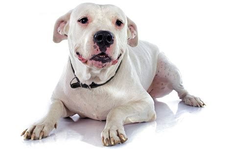 dogo argentino  called  argentinian