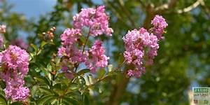 Taille Du Lilas Des Indes : taille du lilas des indes comment faire jardipartage ~ Nature-et-papiers.com Idées de Décoration