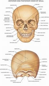 Skull anatomy anterior and posterior view - Anatomy Note