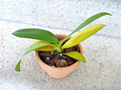 phalaenopsis orchid yellow leaves is my phal dying