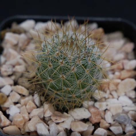 แคคตัสสายพันธุ์แมมเข็มทอง หรือแม่นิโวซ่า(Mammillaria ...