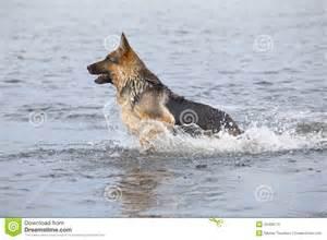 German Shepherd Dog Swimming