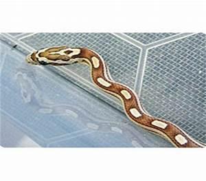 Amber Motley Stripe Corn - Snakes - Livestock - Blue ...