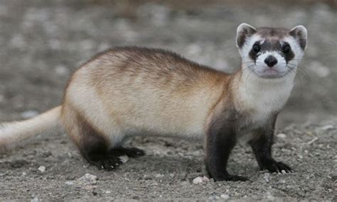 animals that start with the letter f 10 remarkable animals that start with the letter f 20456 | Ferret 630x380