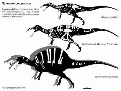 Spinosaurus Aegyptiacus Dinosaur 1915 Skeleton Species Comparison