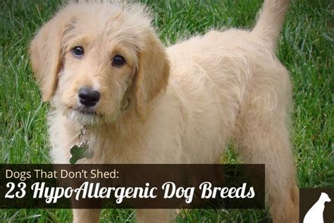 Do All Big Dogs Shed by Goodbye Hair 23 Dogs That Don T Shed Hypoallergenic
