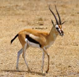 Temperate Grassland Gazelle