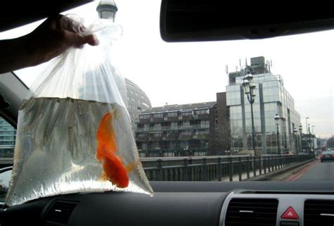 buying goldfish   pet store