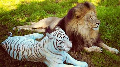 Lion Tiger Animals Wild Lions Tigers Gifs