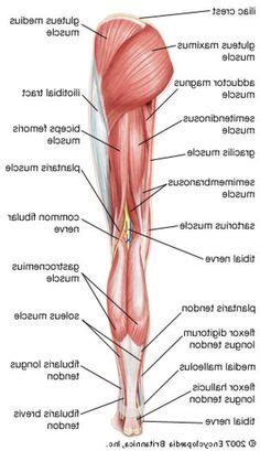 Anterior, lateral and posterior compartment. Map Of The Human Organs . Map Of The Human Organs Map Of ...