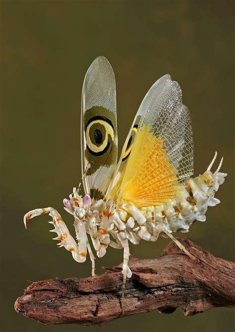 insectos raros mantis insect taringa exoticos coloridos wahlbergii igor siwanowicz imagenes