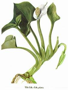 Calla Pflanze Giftig : zantedeschia ~ Frokenaadalensverden.com Haus und Dekorationen