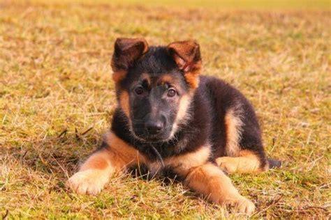 german shepherd cost wucc  cute