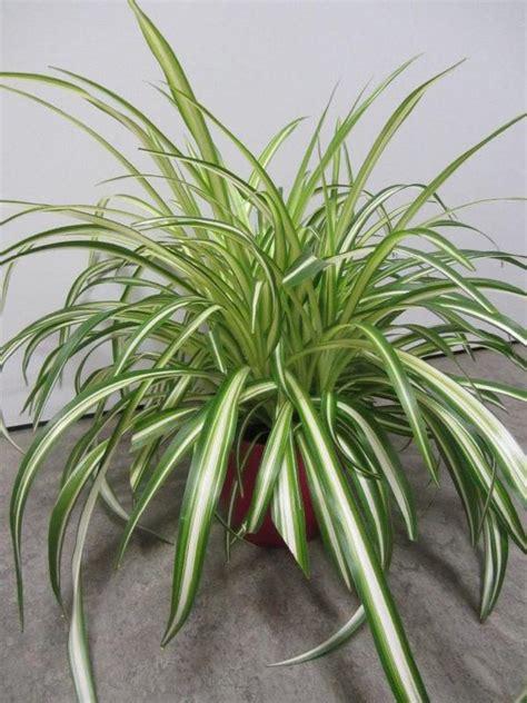 Zimmerpflanzen Portraet Gruenlilie by Zimmerpflanzen Gr 252 Nlilie Begonie Hoya Yukka