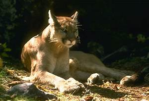 We're Not Mountain Lion About These Facts : The National ...