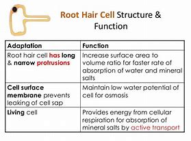 Hd wallpapers labelled diagram of root hair cell love8designwall hd wallpapers labelled diagram of root hair cell publicscrutiny Choice Image