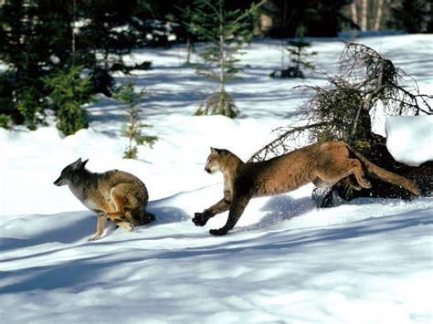 coyote background  desktop pixelstalknet