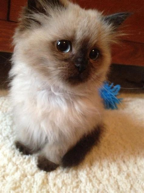 Your Guide To Himalayan Kittens  Random Funny Cat