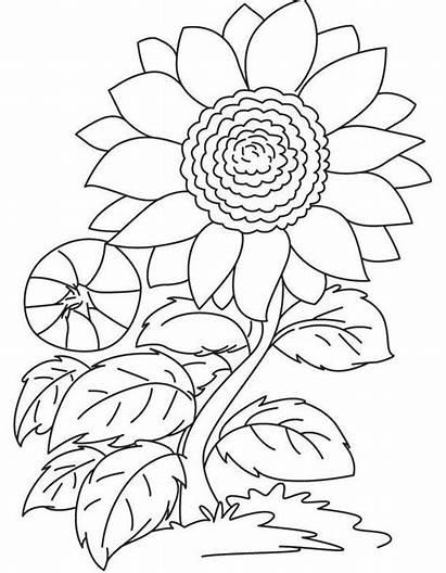 Bunga Gambar Mewarnai Matahari Untuk Sketsa Mewarna