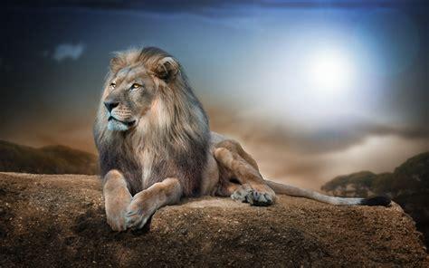 Lion Wallpapers 4k Hd