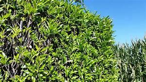Kirschlorbeer Braune Blätter : kirschlorbeer herbergii kirschlorbeer ~ Lizthompson.info Haus und Dekorationen