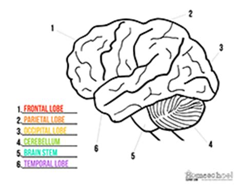 human brain clipart coloring worksheets homeschool