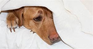 can dogs catch type a flu from humans