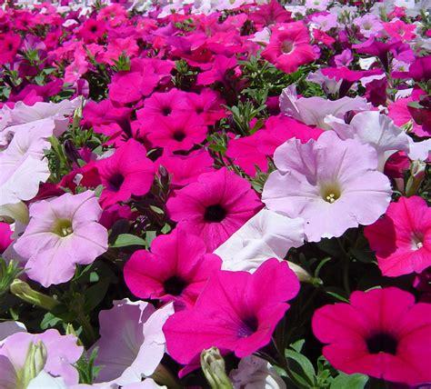 petunia flower information petunia flower image typesofflower com typesofflower com