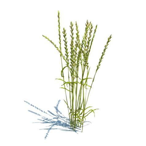 cuisine perenne lolium perenne grass plant 3d model cgtrader com