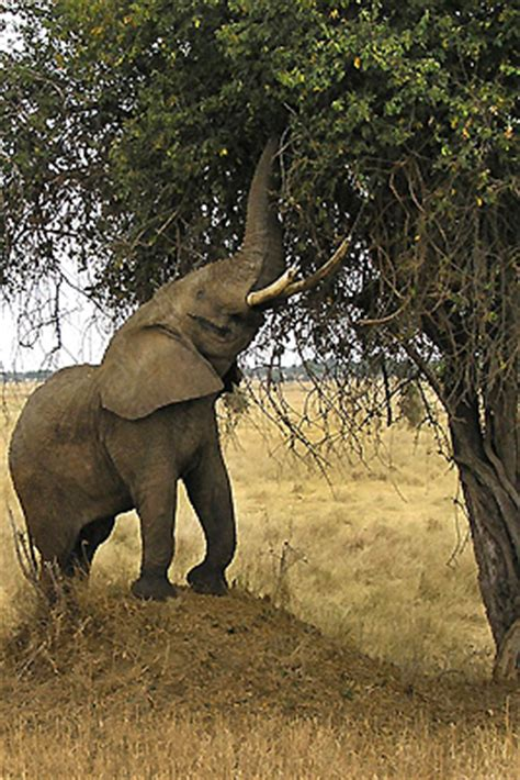 elephant cuisine elephants slideshow the nature conservancy